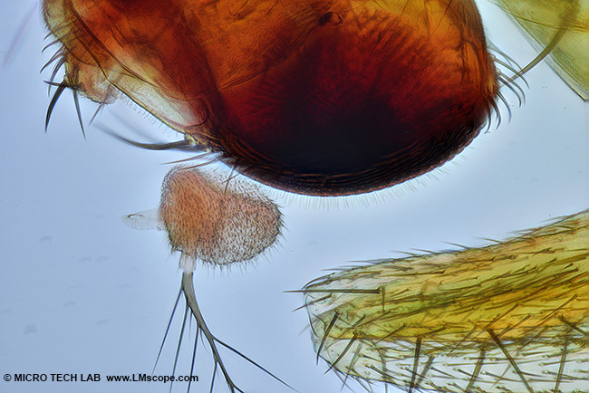 fruit fly with polarized light under the microscope