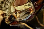 Macro Photography of  a fly (Brachycera / magnification 32x