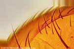 Fruit fly (Drosophila) - Detail Body