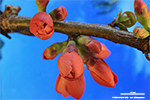 Buds of a flowering quince in spring