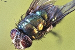 Macro Photography of  a fly (Brachycera / magnification 16x
