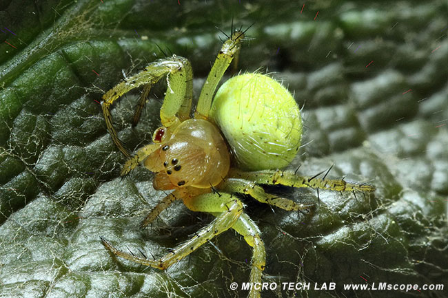 Spinne gestackt LM Makroskop16x plus Helicon Software